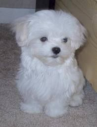Maltese Pups Male And Female For Urgent Adoption Maltese Pups Male