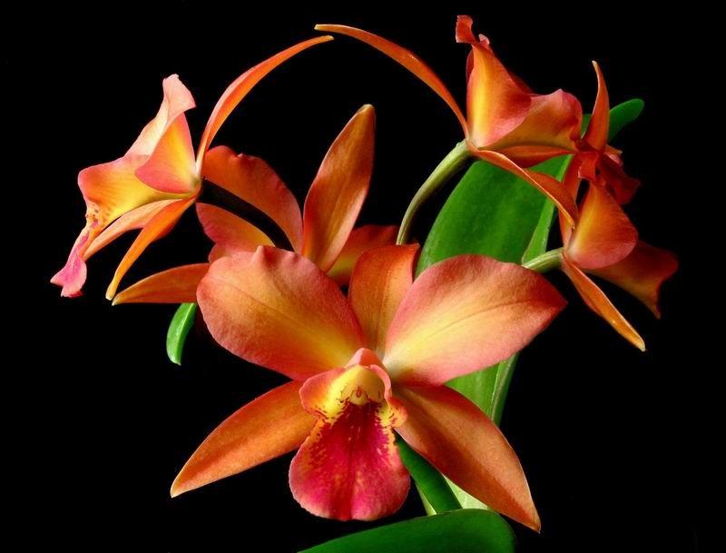 Cattleya Orchid Chillapple Group International Hobbies Pets Dogs Cats Fish Birds Garden Flowers Cattleya Orchids Cattleya Orchid