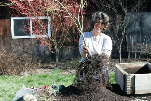 Tutorial. Slideshow on how to root prune Japanese maples.