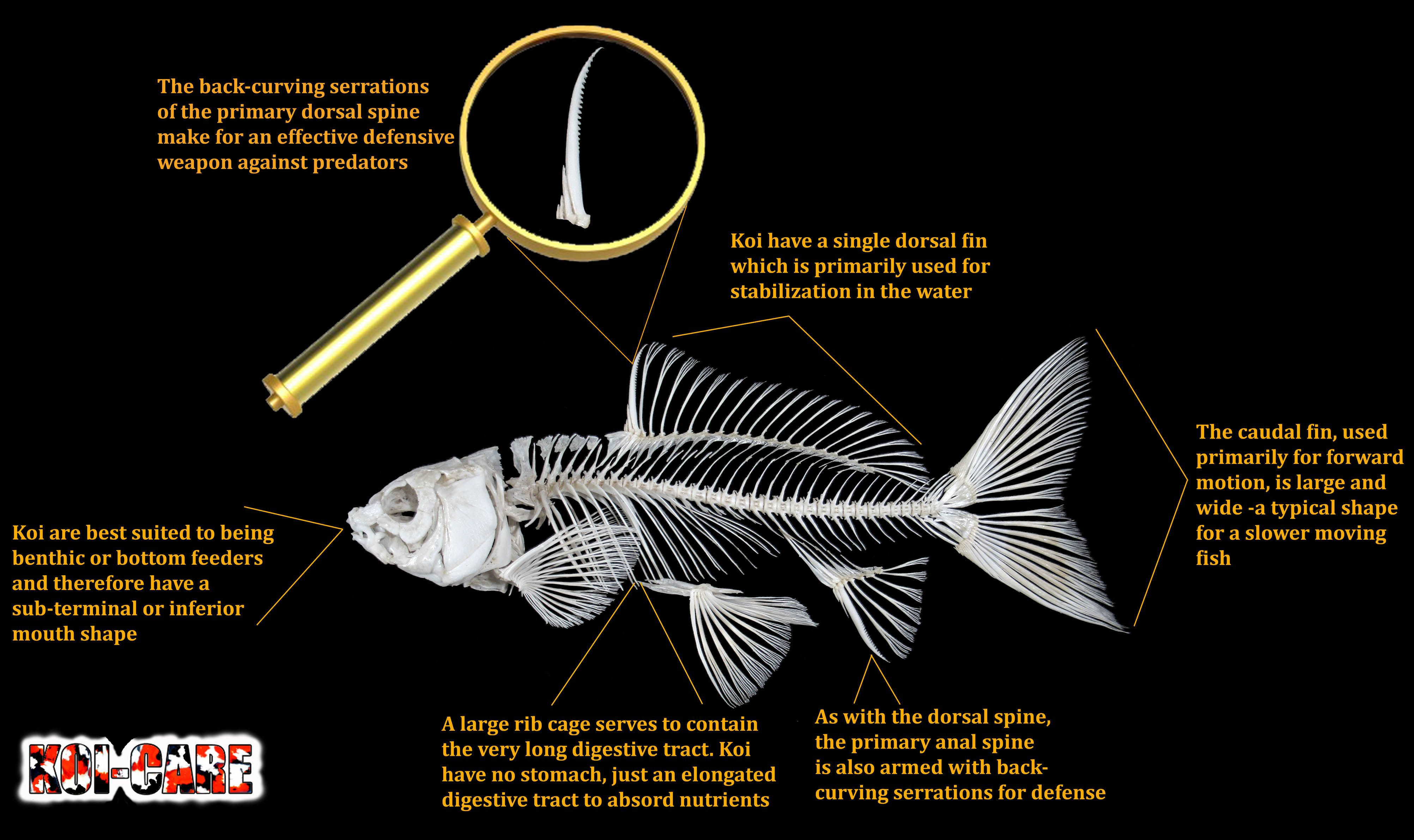 Koi Fish Skeleton Anatomy Diagram, Koi Fish External Anatomy Diagram