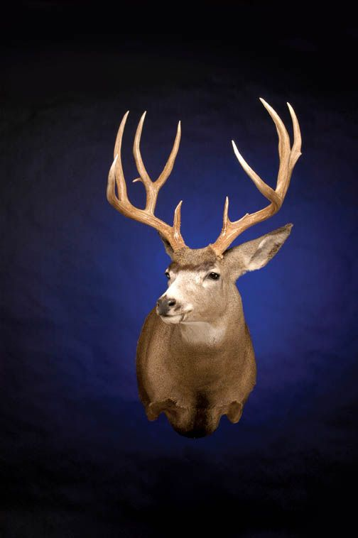Capture that life-like look on your Mule Deer projects with supplies from McKenzie!  Forms, eyes, earliners, hide paste, we got it all.  Check out our website below!  http://www.mckenziesp.com/Search.aspx?k=6md