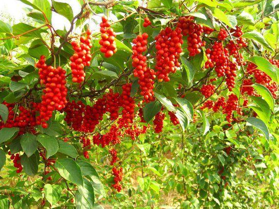Tree good for bonsai 21 seeds Schisandra chinensis MAGNOLIA VINE