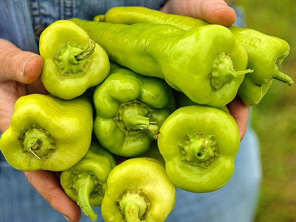 18++ When to pick cubanelle peppers info