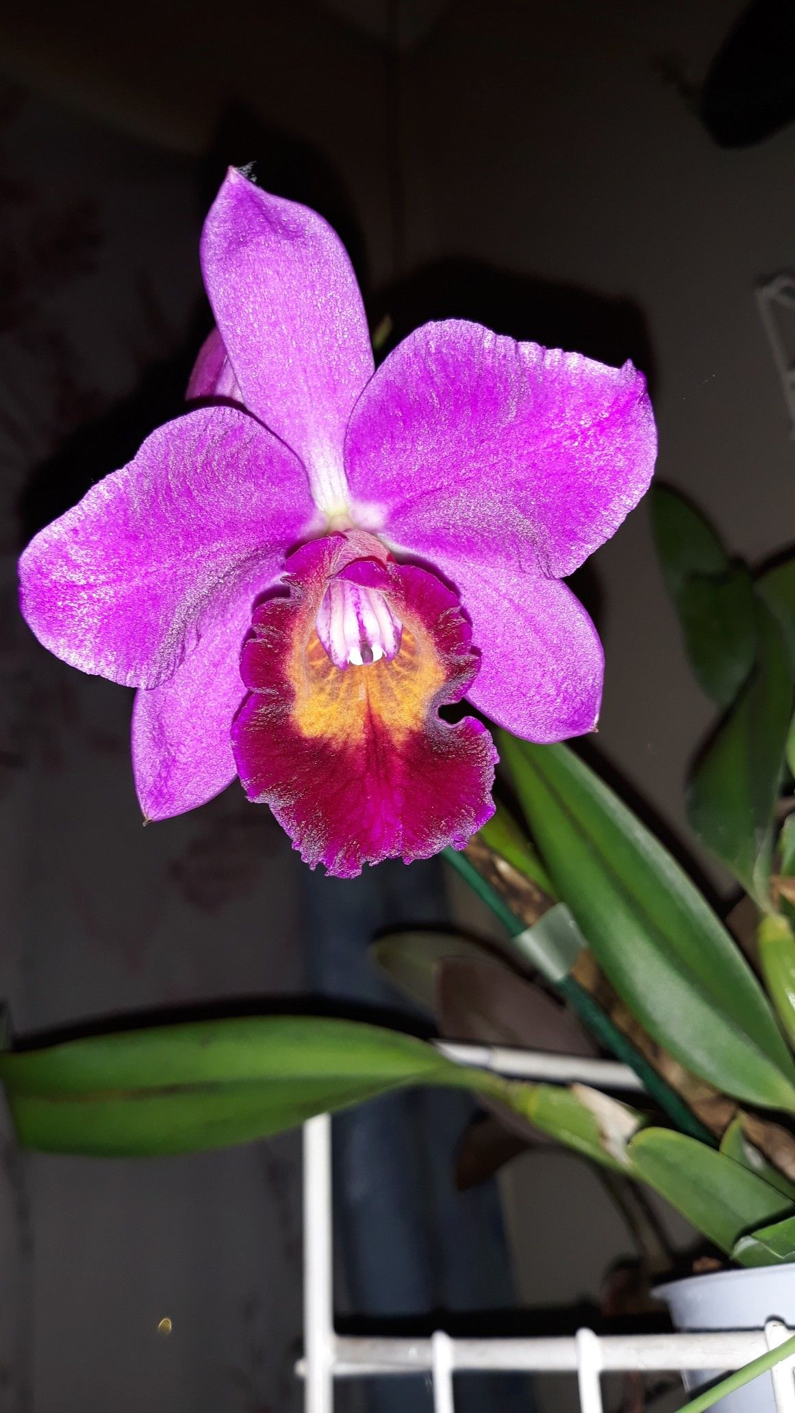 Pin by Boglárka Berki on Orchids (With images) Cattleya