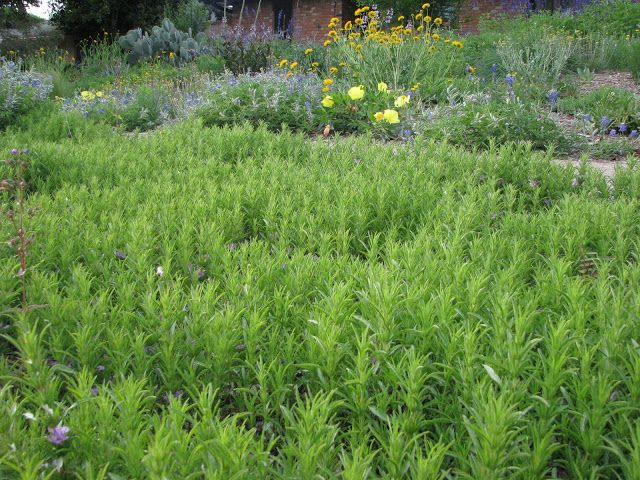according to plano prairie snake herb is a fast growing ground cover for hot dry areas it 39 s. Black Bedroom Furniture Sets. Home Design Ideas