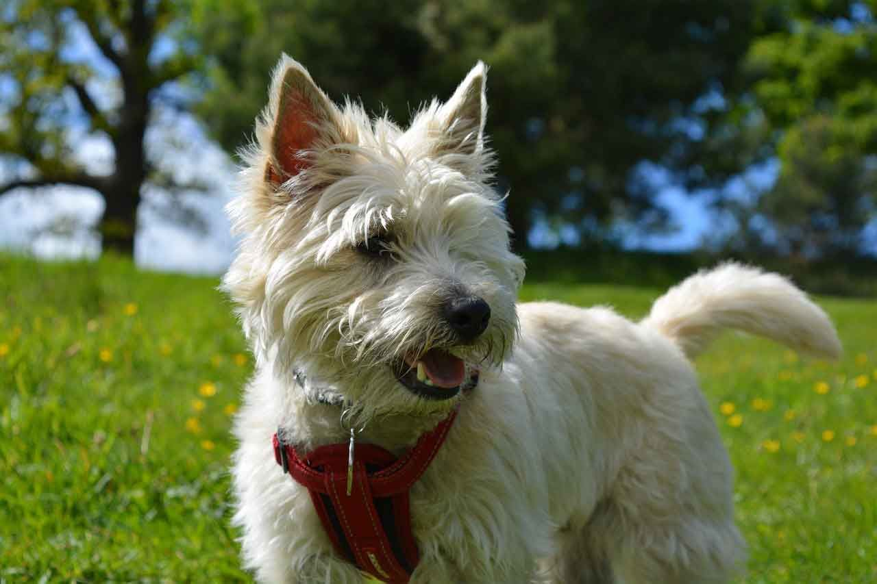 Cairn Terrier The Playful And Inquisitive Dog Cairn Terrier