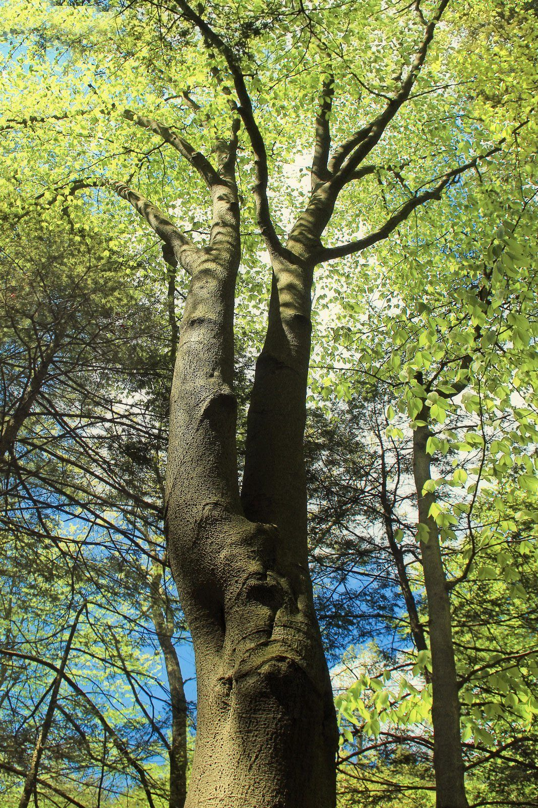 If You Have A Large Property That Needs Some Shade Consider Growing Beech Trees Learn More About Growing Beech Beech Tree Trees To Plant Tree Identification