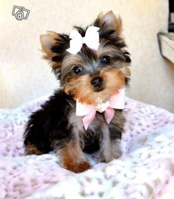 Puppies For Sale Micro Teacup Yorkie Puppies For Sale Pets For Sale Dinkos Com Au Teacup Yorkie Puppy Yorkie Puppy Puppies