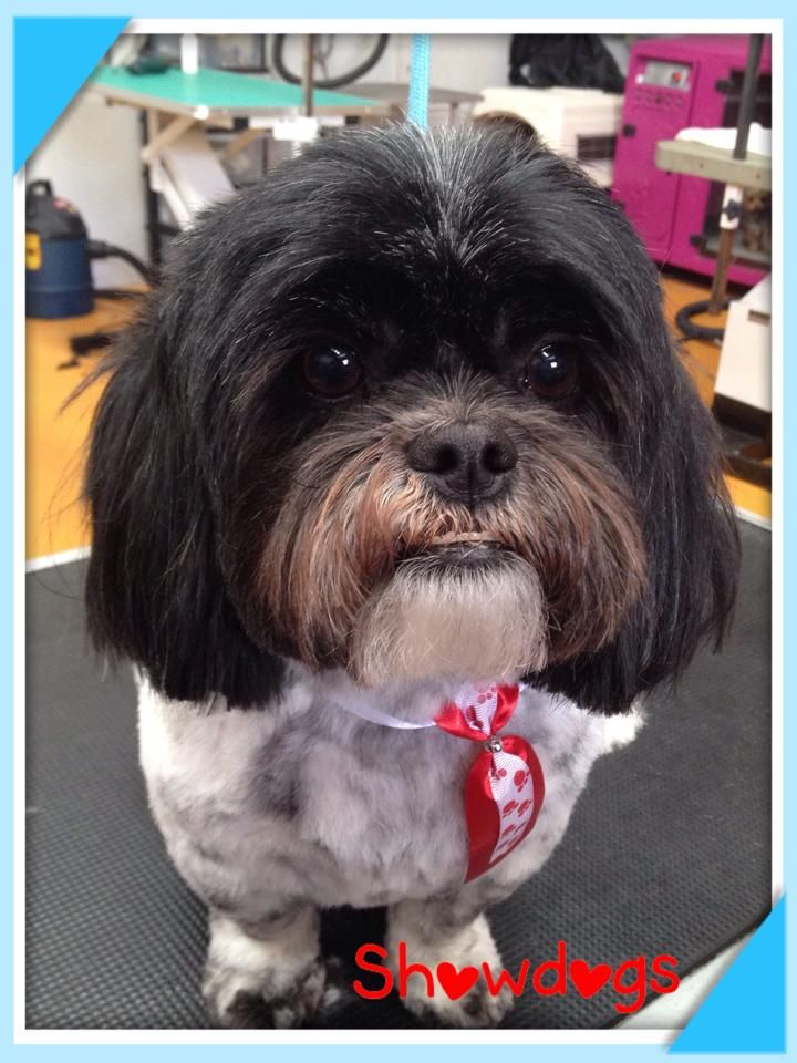 Pin by showdogs nz on showdogs grooming dogs grooming