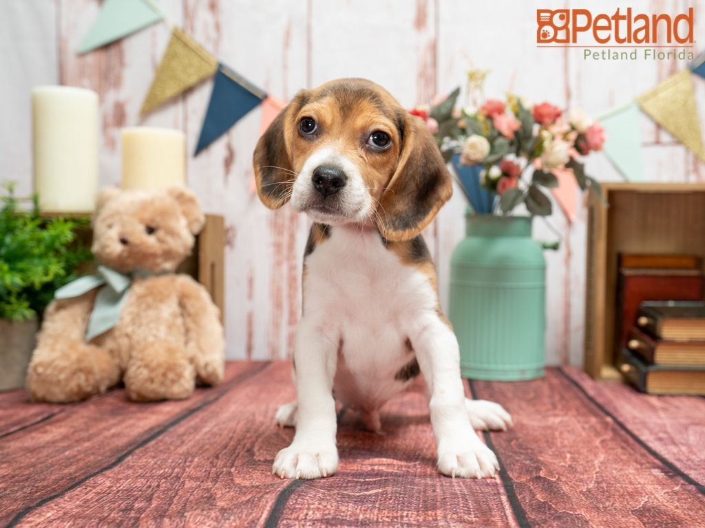 Puppies For Sale Beagle Puppy Puppies Dog Lovers