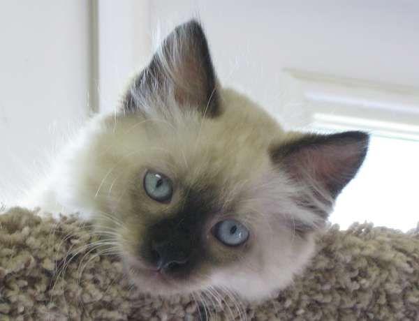 Ulicia Siamese Cats Cat Rescue Cats