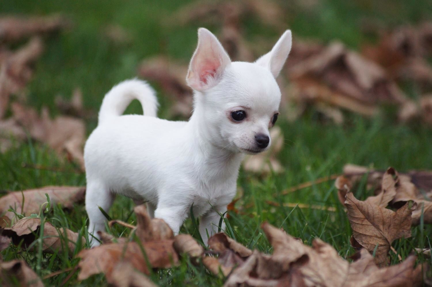 Teacup Chihuahua Puppies For Sale Near Me References