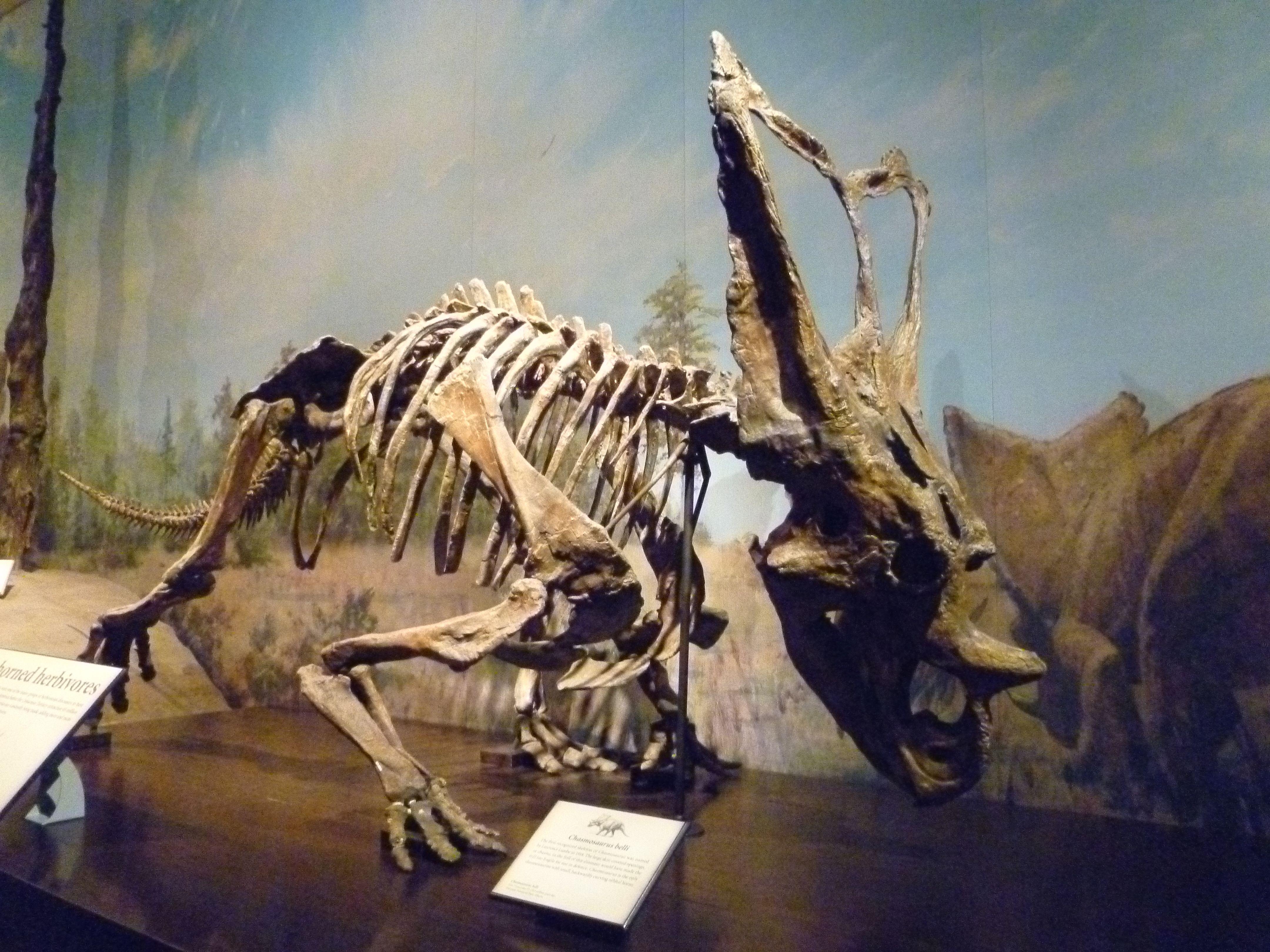 Chasmosaurus Belli Royal Tyrrell Museum Drumheller