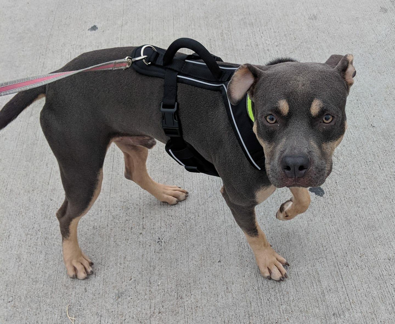Adopt armani on petfinder american staffordshire terrier