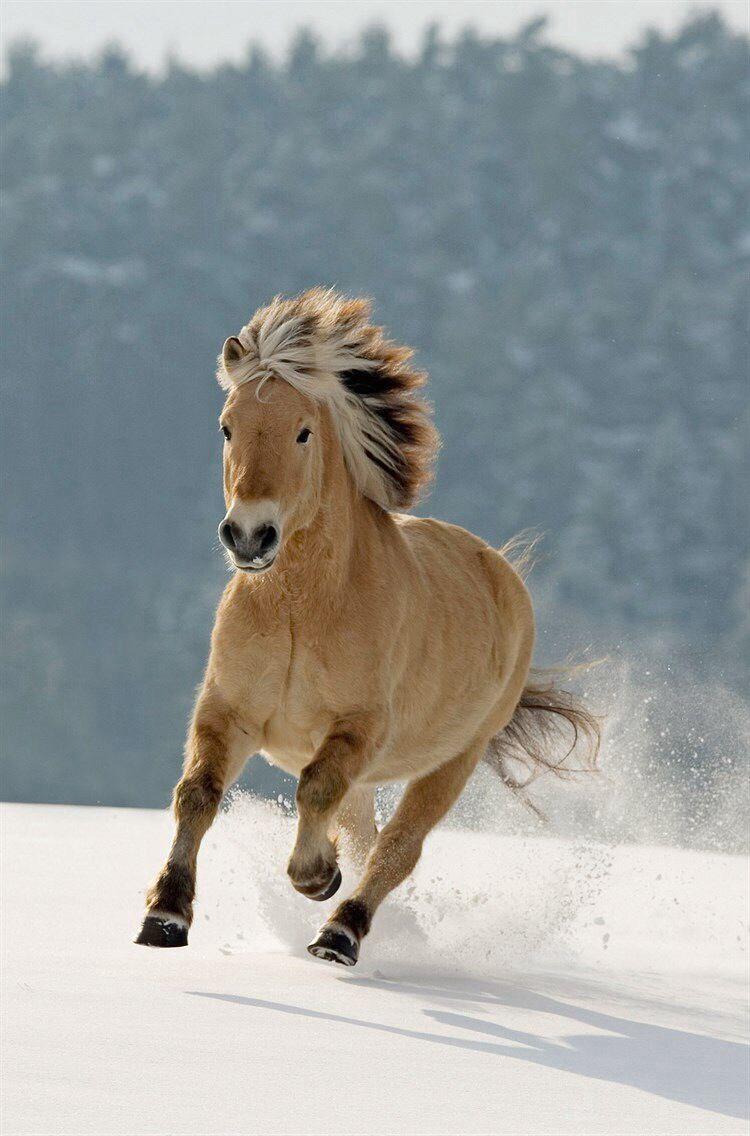 Wild horse running through the snow.