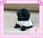 Micro Teacup Poodle Sooooooooooo Cute Thumb 1113 00260 Jpg