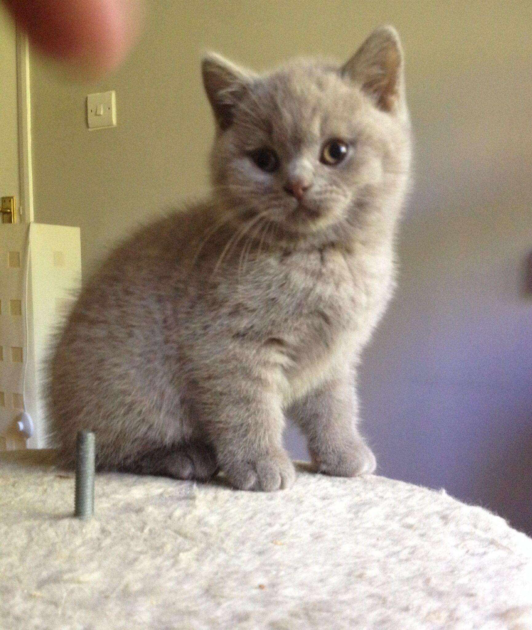 Bear My Little Lilac British Shorthair Kitten Cica