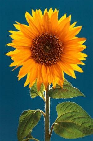 Really Bright Yellow Orange One Sunflower Pictures Sunflower Garden Paper Sunflowers