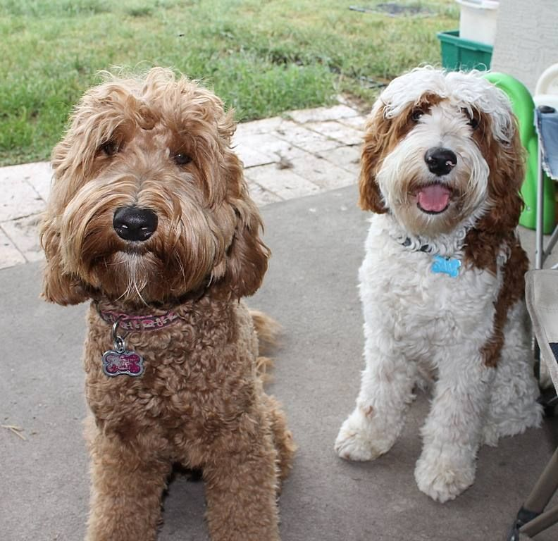 Red Labradoodle, Nugget, and red parti Labradoodle, Sam