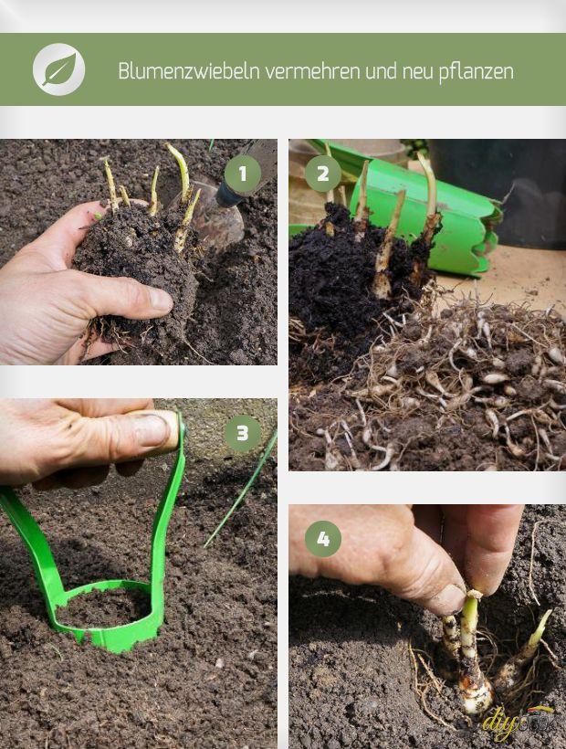 blumenzwiebeln pflanzen ausgraben vermehren und umpflanzen garten pinterest pflanzen. Black Bedroom Furniture Sets. Home Design Ideas