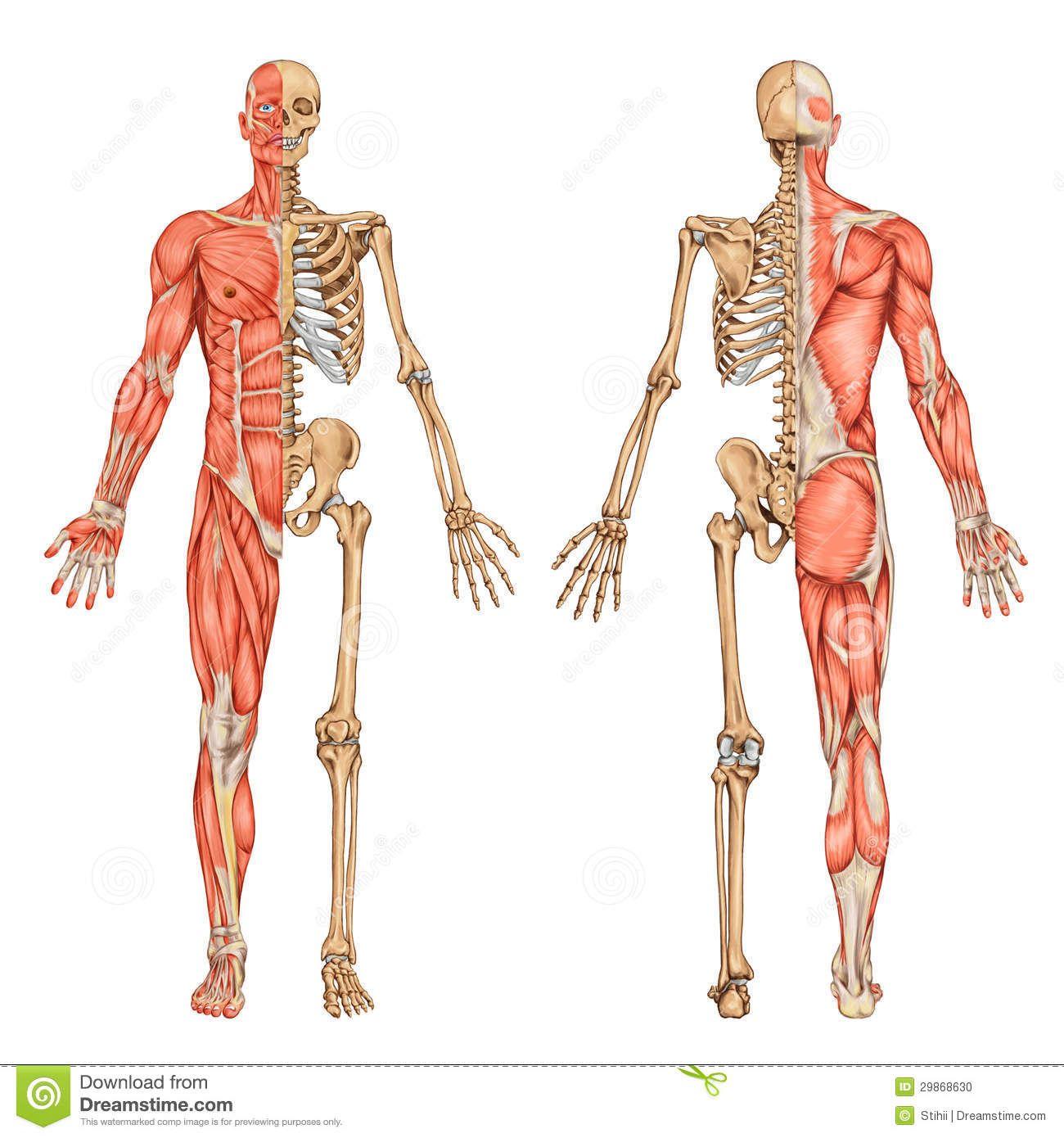 human-skeleton-posterior-anterior-view-didactic-board-anatomy-human-bony-muscular-system-29868630.jpg (1300×1390)
