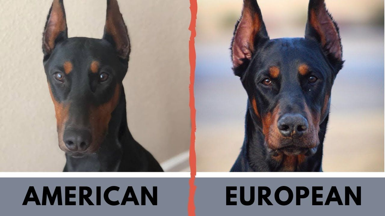 American Doberman Vs European Doberman Difference With Images