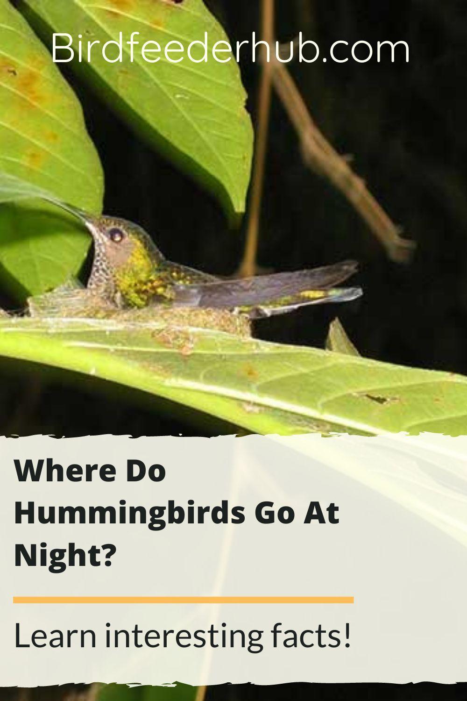 Where Do Hummingbirds Go At Night