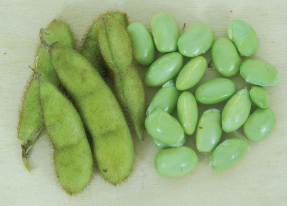 Envy Bean Seeds Bean Seeds Seeds Bush Beans