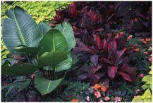 over wintering tropical plants like elephant ears caladiums hibiscus and bana #elephantearsandtropicals