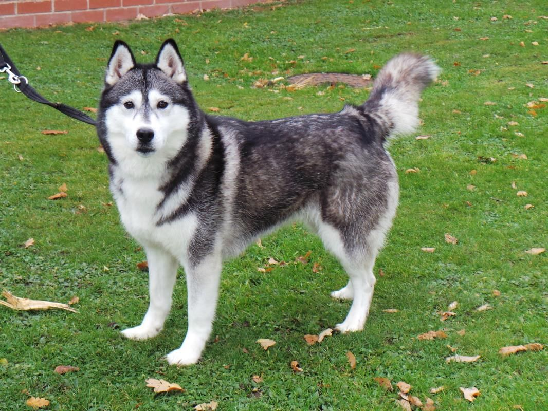 Adopt A Dog Lavender Siberian Husky Dogs Trust With Images