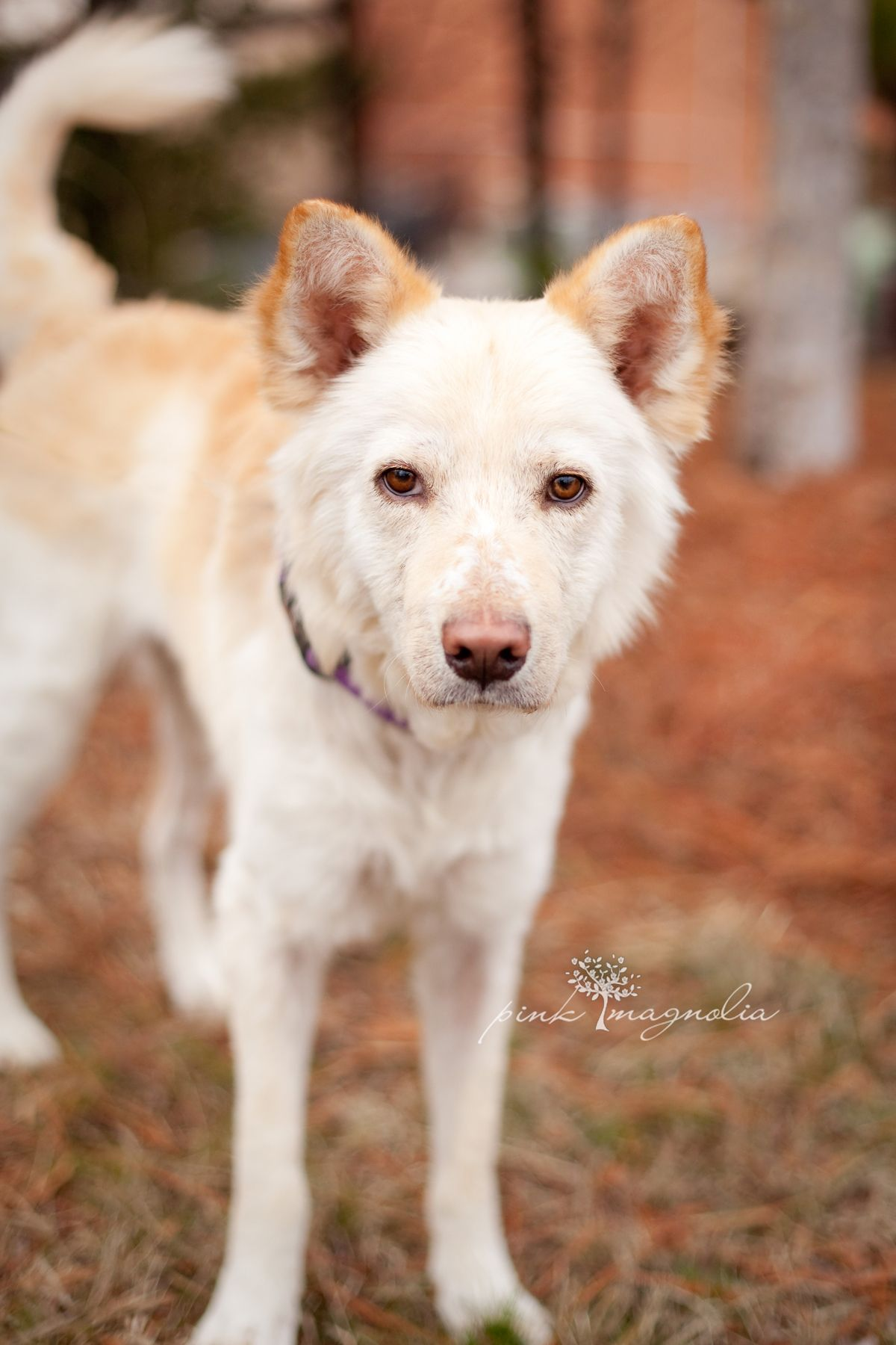 Riley is a goldenhusky mix available for adoption through