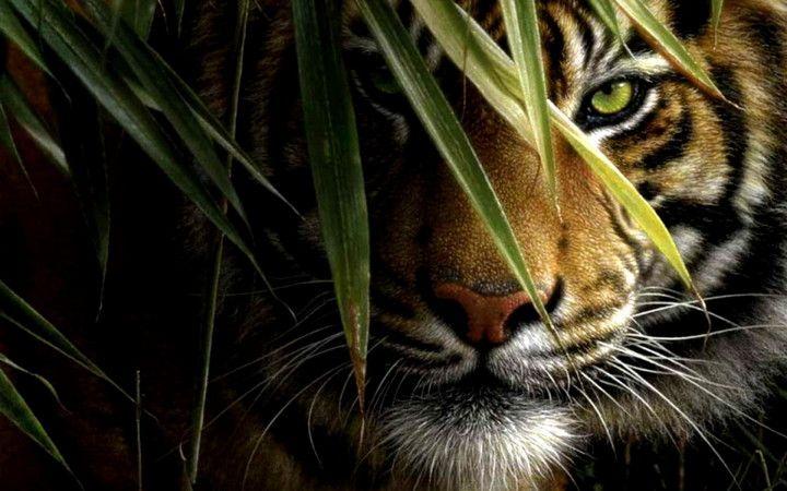10 Tiger Wallpapers Onzec Imagem De Tigre Fotos De Animais Selvagens Olhos De Tigre Tatuagem
