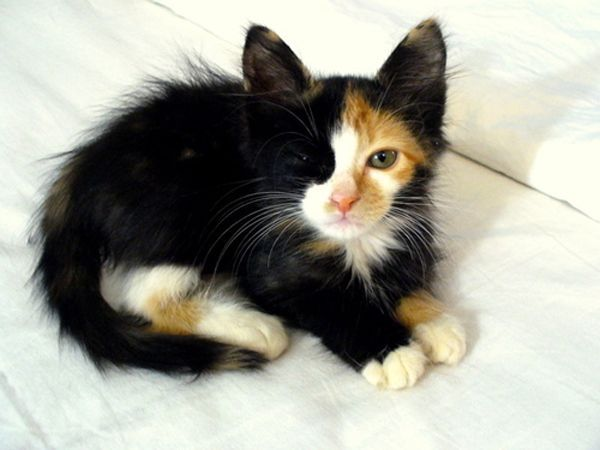 A Black White And Orange Calico Kitten Looking Up At The Camera