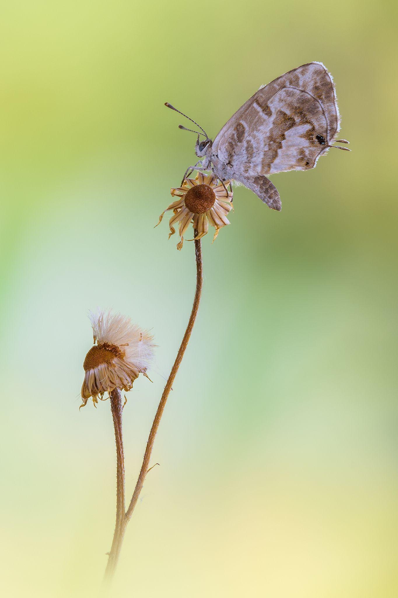 Cacyreus marshalli - Finalmente dopo anni di ricerche sono riuscita a trovare…