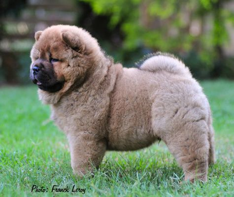 Smooth Chow Chow Puppy Ciao Chows Chow Chow Puppy Puppies