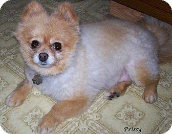 Jacksonville, FL - Pomeranian  Meet Prissy a Dog for
