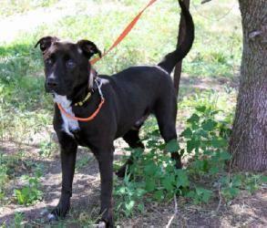 Booboo Is An Adoptable Rottweiler Dog In Kansas City Ks Big