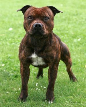 Mais Mahogany Comme Le Staffie J Ai Jamais Vu En Thai American Staffordshire Bull Terrier Staffordshire Bull Terrier Puppies Staff Bull Terrier