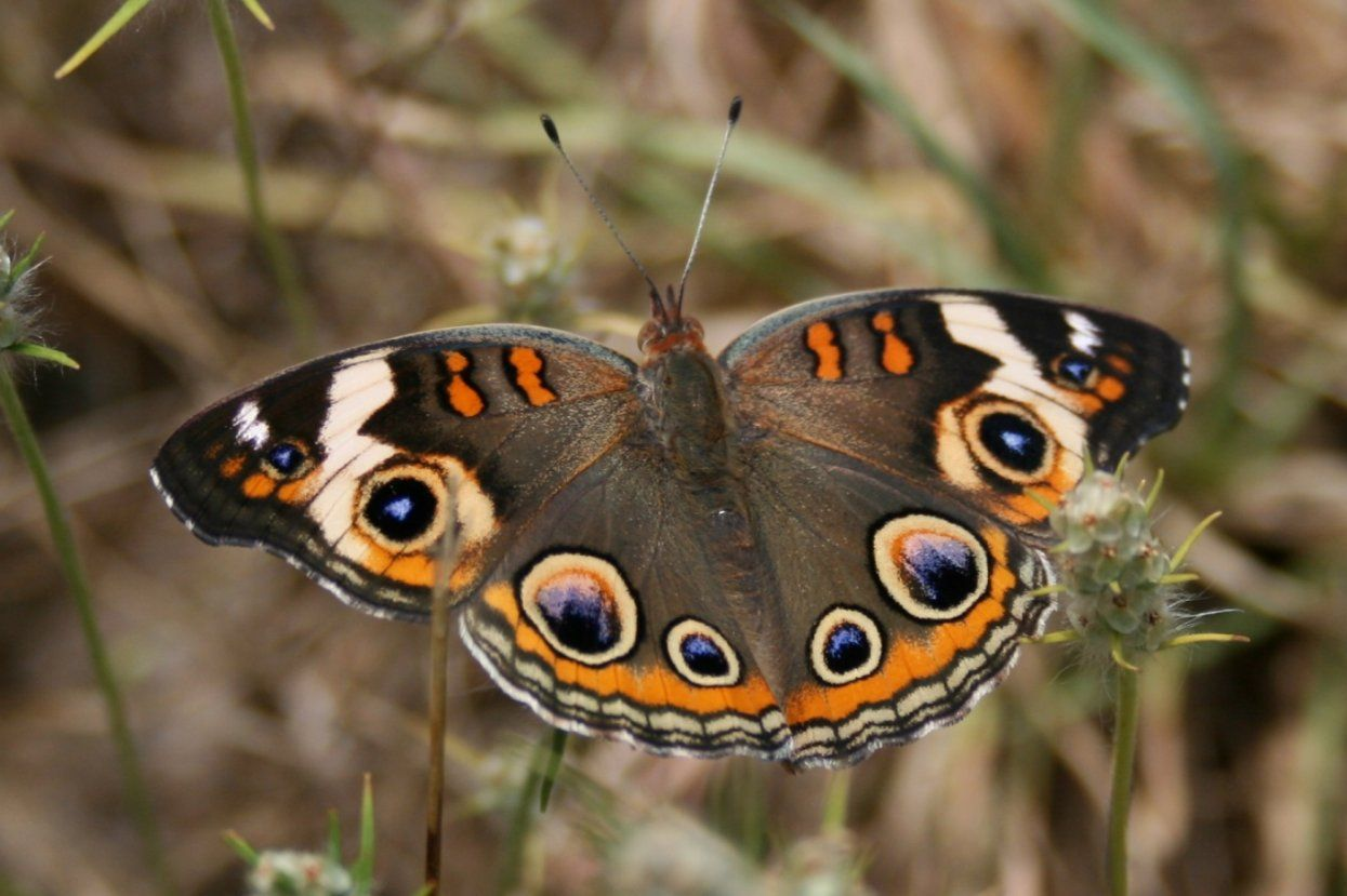 Junonia Coenia http://www.smashinglists.com/rare-sighted-appealing-butterfly-species/