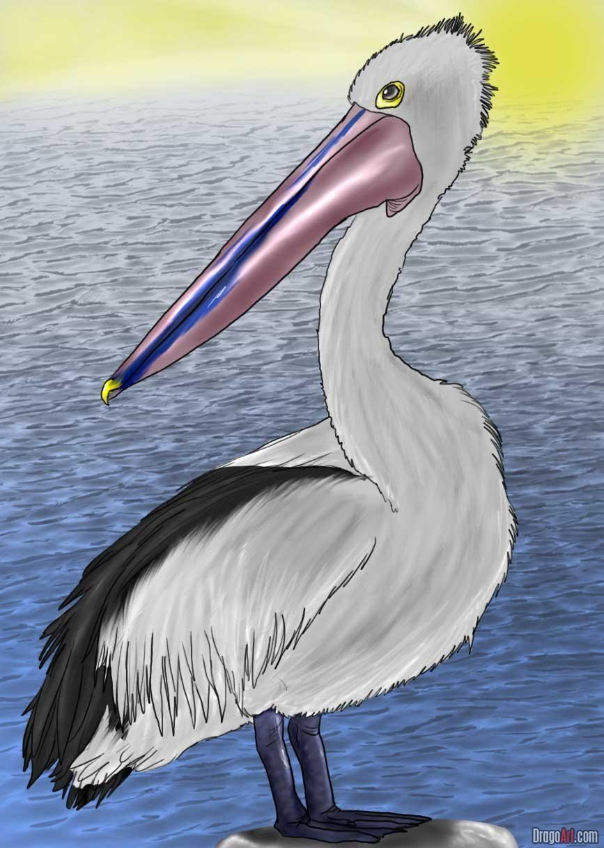how to draw an australian pelican Pelican art, Pelican