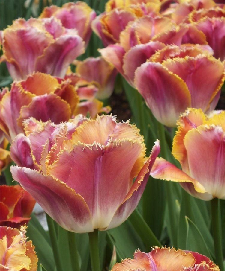 Tulip Sunset Miami - Fringed Tulips