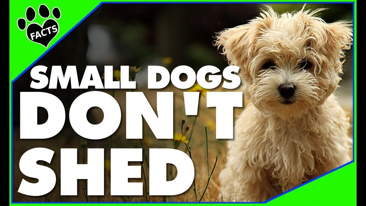 Toptenz 10 Small Dog Breeds That Don T Shed Small Non Shedding