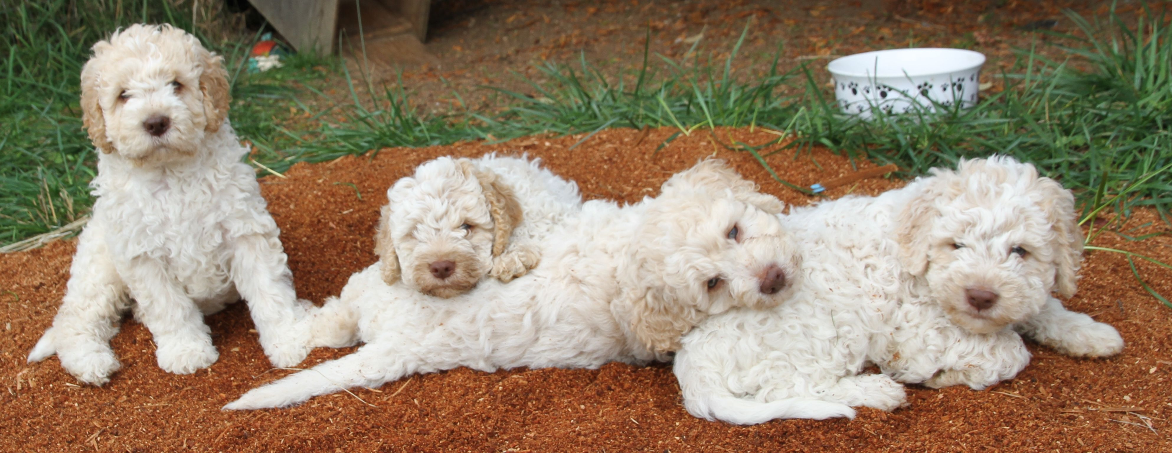 Ducketts White Cream Lagotto Bred Specifically For Good Visibility During The Hunt Or Retrieving At Dusk Or Dawn Premium Disti Dogs Lagotto Romagnolo Puppies