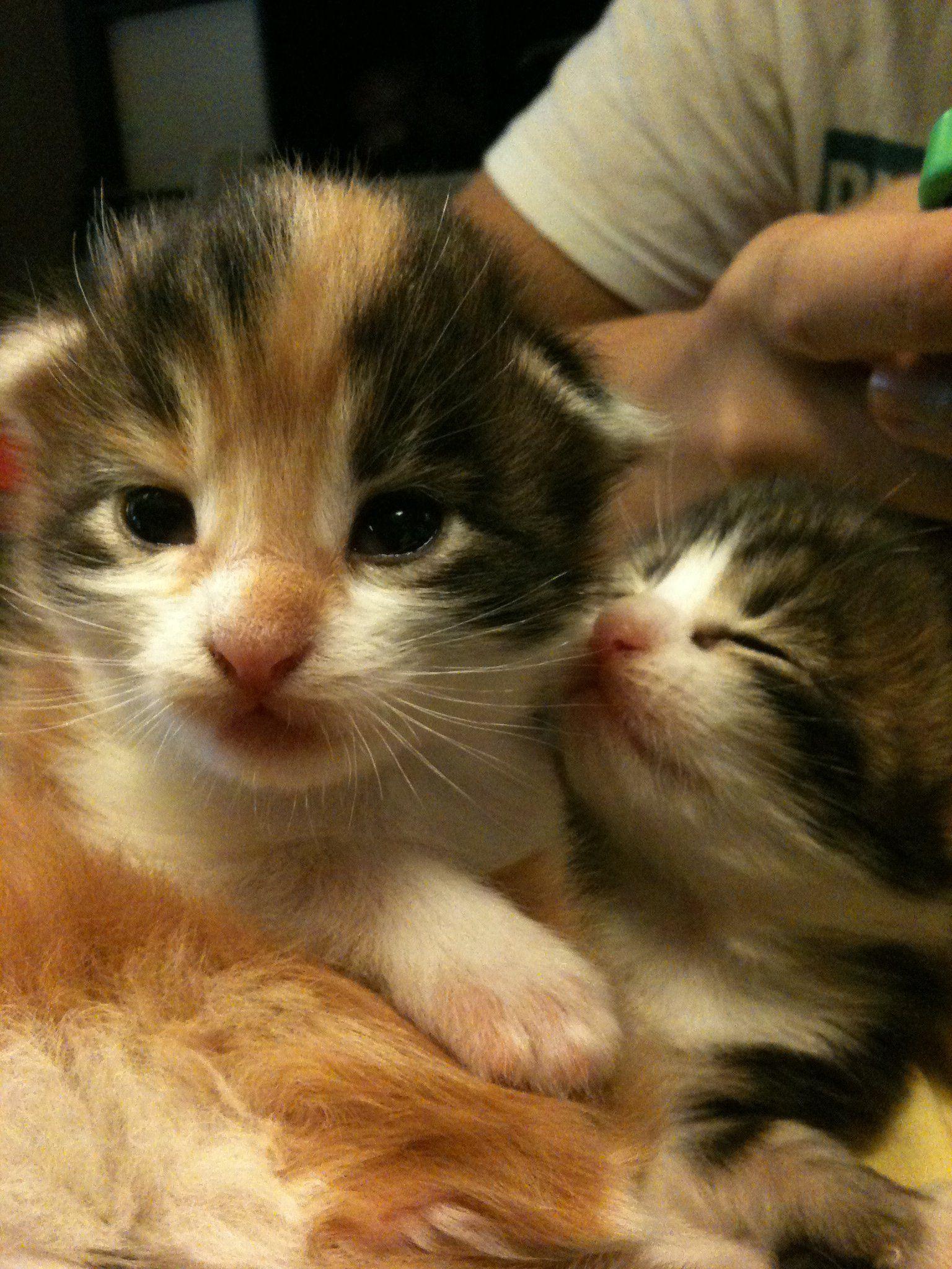 Maine Coon Kitten for Adoption Sale RagaMuffin Cat
