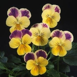 Pansy Seeds For Sale 43 Pansies Annual Flower Seeds Pansies Flowers Pansies Annual Flowers