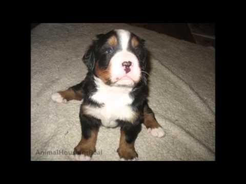 Newborn To 8 Weeks In 1 Minute Male Bernese Mountain Dog