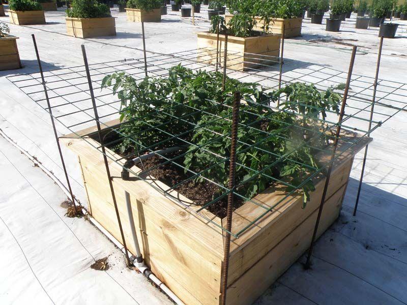 How To Support Tomatoes Bonnie Plants Plants Tomato Garden Tomato Trellis