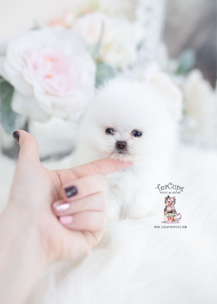 white-micro-teacup-pomeranian-puppy-096-e #teacuppomeranianpuppy