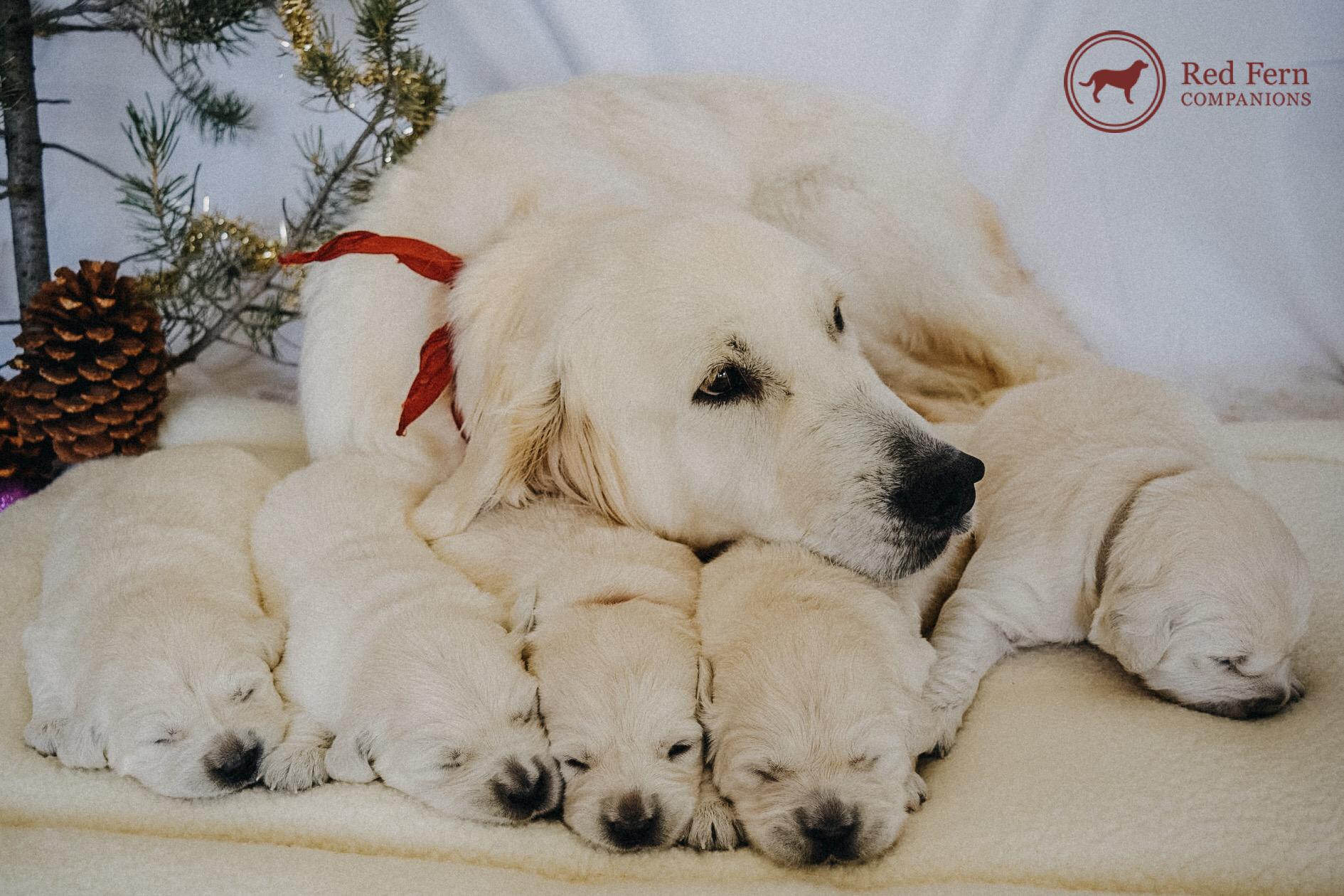 Best Family Pet English golden retriever puppy, English