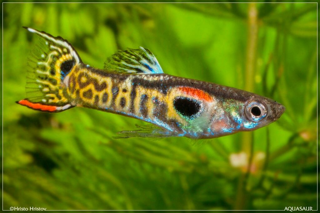 Tiger endler poecilia pinterest tigers guppy and for Endler guppy